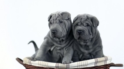 Two Shar Pei Pups in a Basket