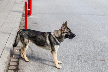 Deutscher Schäferhund aus Leistungszucht mit geradem Rücken