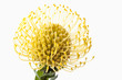 canvas print picture - Nadelkissen Protea Blume close-up
