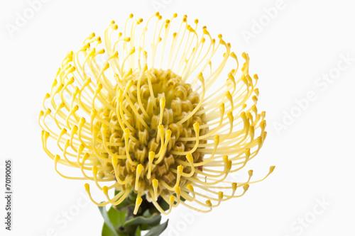canvas print picture Nadelkissen Protea Blume close-up
