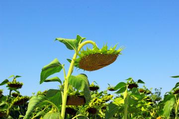 Deflorate sunflower