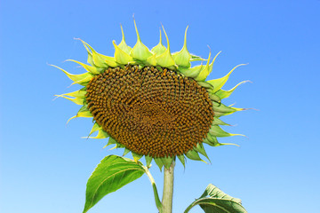 Sunflower in the intermediate stage of maturation