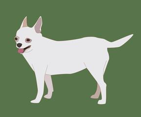 Chihuahua Dog White