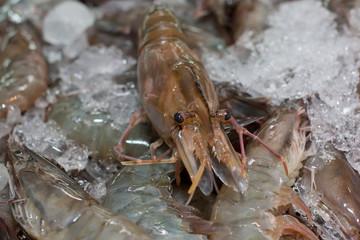 Shrimp on Ice