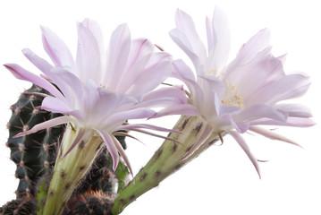 Beautiful cactus flowers