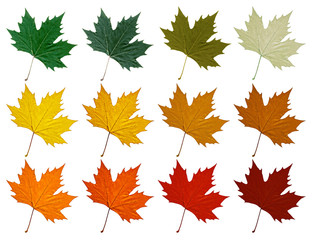 Sycamore leaf. Set in different color shades