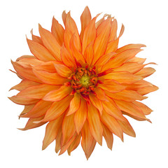 yellow dahlia on white background