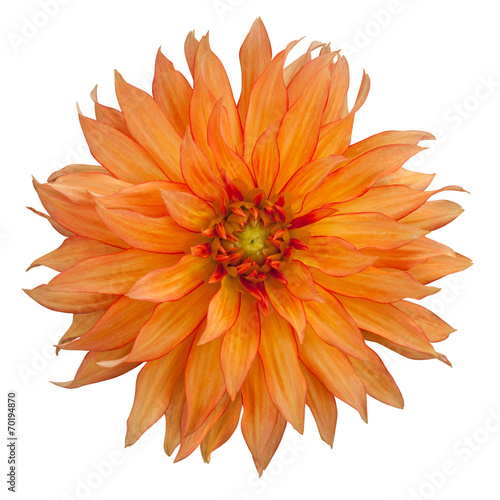 Fotobehang Dahlia yellow dahlia on white background
