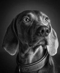 Cane di razza Weimaraner in bianco e nero