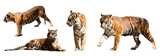 set of tigers over white background