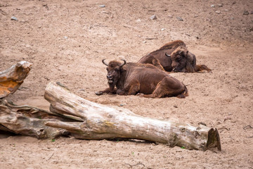 American bisons in the zoo