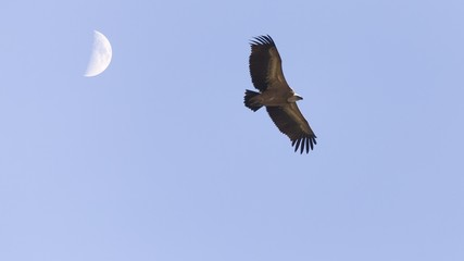 Vulture and moon