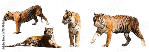 Plexiglas Afrika set of tigers over white background