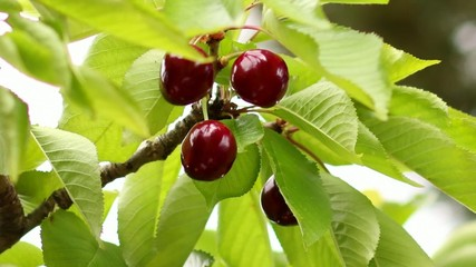 Spring Fruit Collecting Cherries