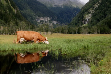 cow in mountain