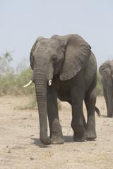 Portrait of wild african elephant
