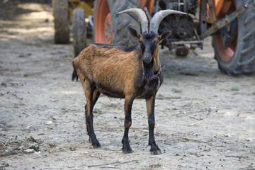 Adult brown and black goat