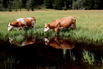 cows double reflection
