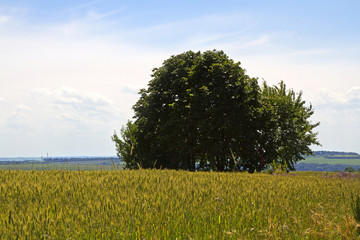 lonely tree on a wheat field