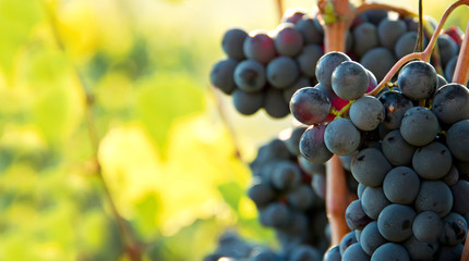 Closeup on bunches of black grapes in vineyards