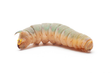 Hawk-moth caterpillar
