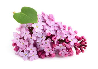 Lilac flower bunch.