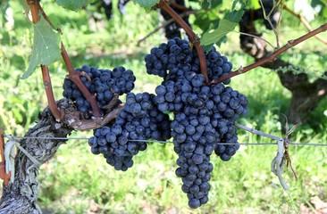 gappes de raisin noir dans les vignes du bordelais
