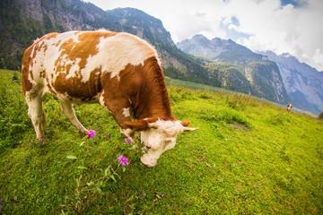 Rinder auf Alm