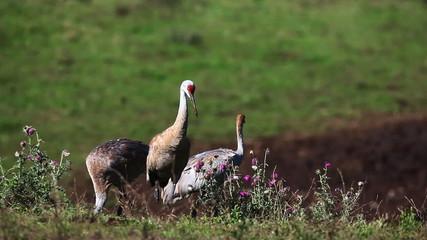 Sandhill Crane family feeding in a field