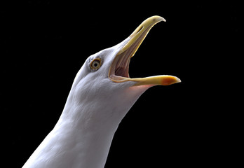 Screaming seagull isolated against a black background