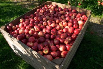 Apfelplantage