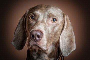 Cane di razza Weimaraner