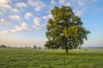 Tree in a meadow at dawn in summer