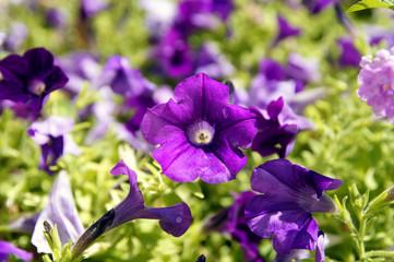 flower surfinia