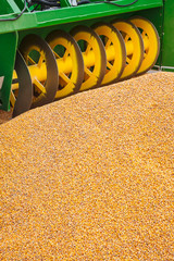 Corn crop harvester machine with fresh corn in front