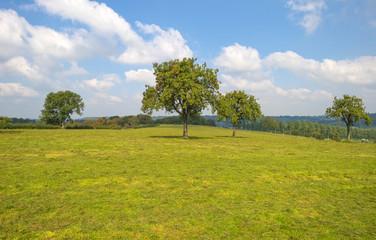 Trees in a meadow in summer