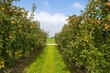 Orchard with fruit trees in a field in summer - 70209077