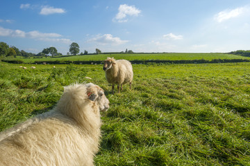 Sheep in a meadow in summer