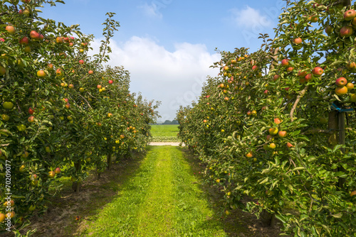 Orchard with fruit trees in a field in summer