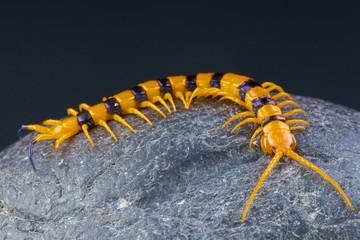 Centipede / Scolopendra hardwickei