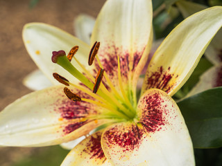 Petals, stigma and anthers of white lily