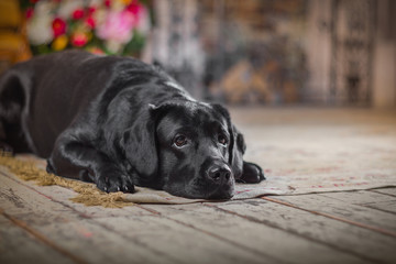 Black labrador dog with flower