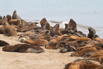 South American sea lions rookery on the beach of the Atlantic Oc