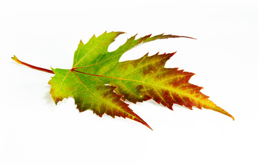Green-red autumn leaf