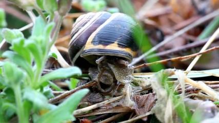 A snail in closeup