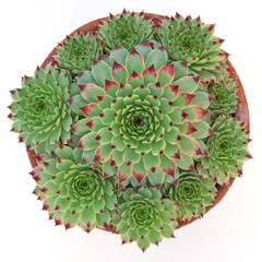 Potted Sempervivum Hirtum plants