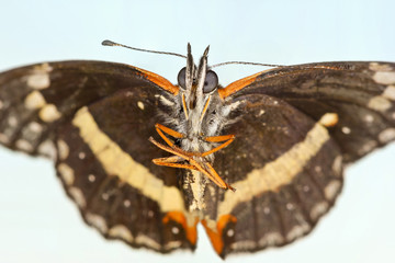 A Bordered Patch Butterfly, or Chlosyne lacinia