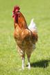 Beautiful cock