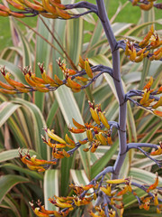 Phormium flowers also known as New Zealand Flax