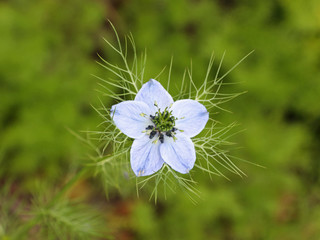 Love-in-a-Mist flower ( Nigella amascena )